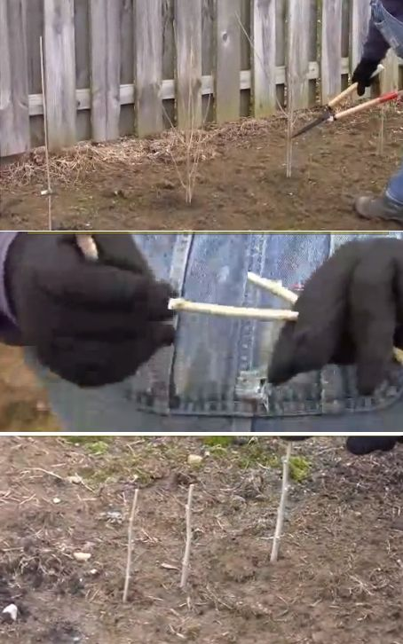 Pruning Roses of Sharon and making cuttings of them. video