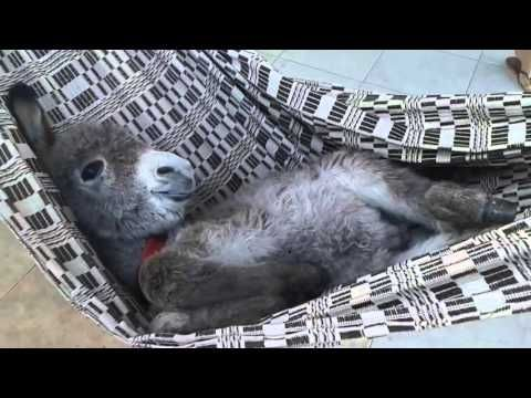 Baby Donkey Enjoys Some Really Good Belly Rubs While Swinging Happily in His Hefty Hammock