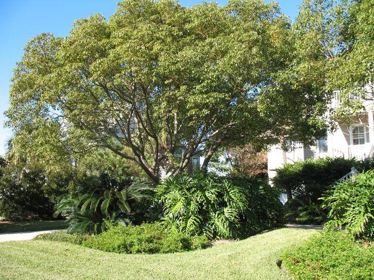 Cinnamomum camphora / Camphor Tree -