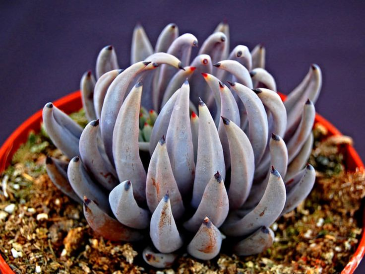 Echeveria unguiculata is a small, rosette forming succulent plant up to 4 inches (10 cm) in diameter. The leaves are curved, lanceolate...
