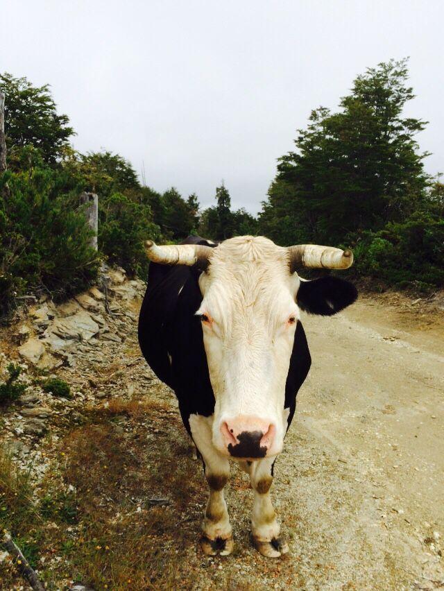 Selfie toro cow