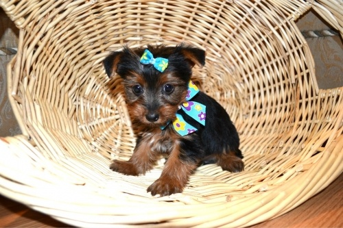 #Minipups #Dog Breeder Service has Puppies for Sale in Georgetown, Ontario, Canada. I want one! <3