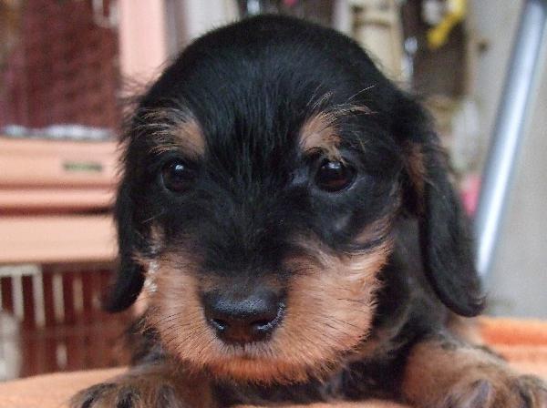 子犬の紹介 ミニチュア・ダックスフンド ブラックタンの女の子
