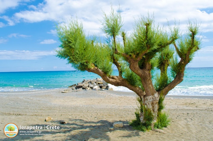 A Tamarisk tree in the beach is a typical #Ierapetra scene.   Αλμυρίκι στην Παραλία Ιεράπετρας.      (CC-BY-SA 3.0)