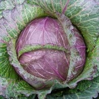 Cabbage Deadon-Plants