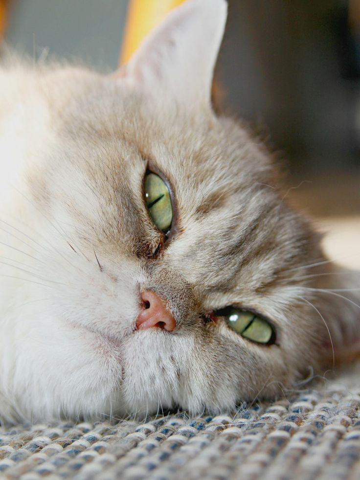 British shorthair with green eyes