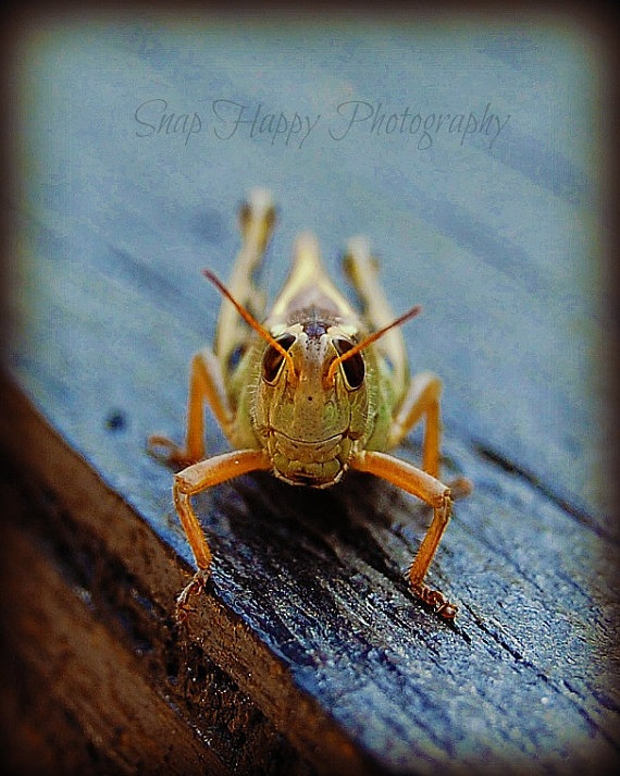 Leaps & Bounds  8x10 Photography  Grasshopper Photo by Snaphappy72, $15.00