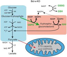 Bcl-xL knockout attenuates mitochondrial respiration and causes oxidative stress that is compensated by pentose phosphate pathway activity
