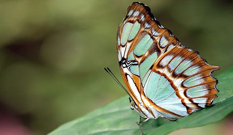 teal brown butterfly