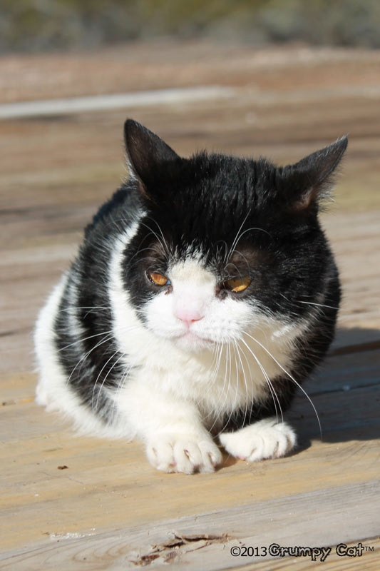 92 best images about pokey  grumpy cat u0026 39 s bro on pinterest