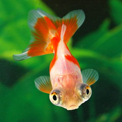 Red & White Butterfly Goldfish Head View