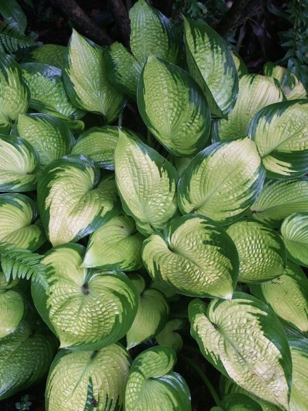 Hostas for sale buy Hosta 'Inniswood'