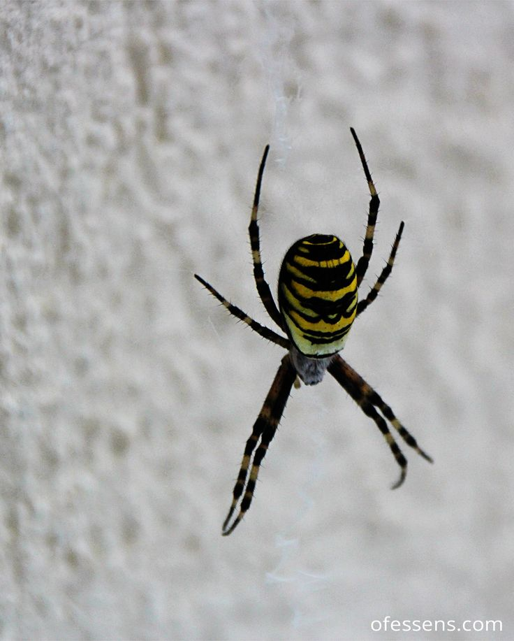 Spider, araignée raillée noir et jaune, effrayante bestiole mais jolies couleurs! #envoldujour