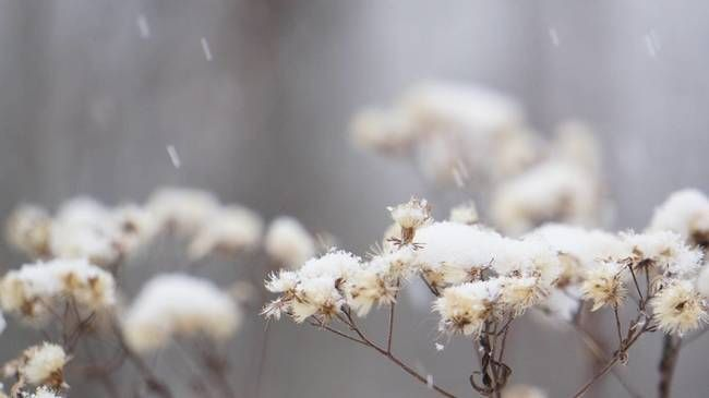 Snowy Aster Winter Wintertime Beauty In Nature Close Up Cold Temperature Day Flower Flower Head Focus On Foreground Winter Photos Flowers Royalty Free Pictures