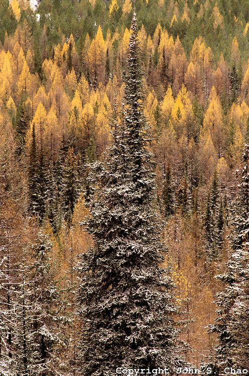 Winter arrives among the larch trees of Wenatchee National Forest.