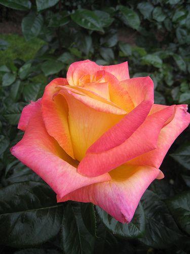 My favorite flower, pink and orange/yellow rose: Hybrid Tea 'Love & Peace'