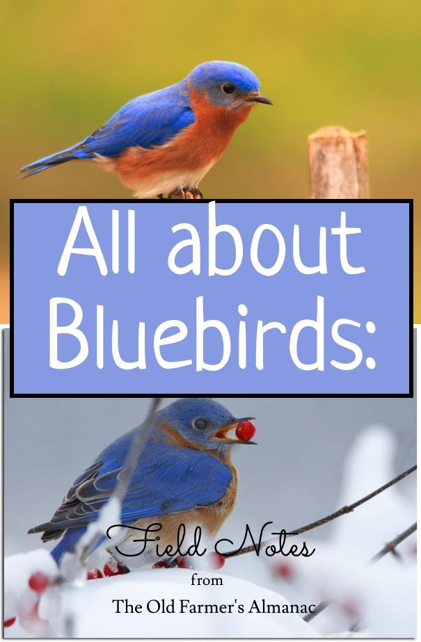 Learn about bluebirds with The Old Farmer's Almanac: from their history, to their sweet songs, to their cheeky personalities! https://www.almanac.com/blog/home-health/outdoors/house-hunting-bluebird
