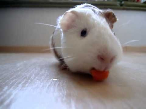 ▶ Guinea pig noming - YouTube