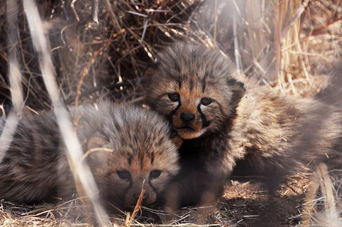 #MongenaPrivateGameReserve #Cheetah #Wildlife #Nature