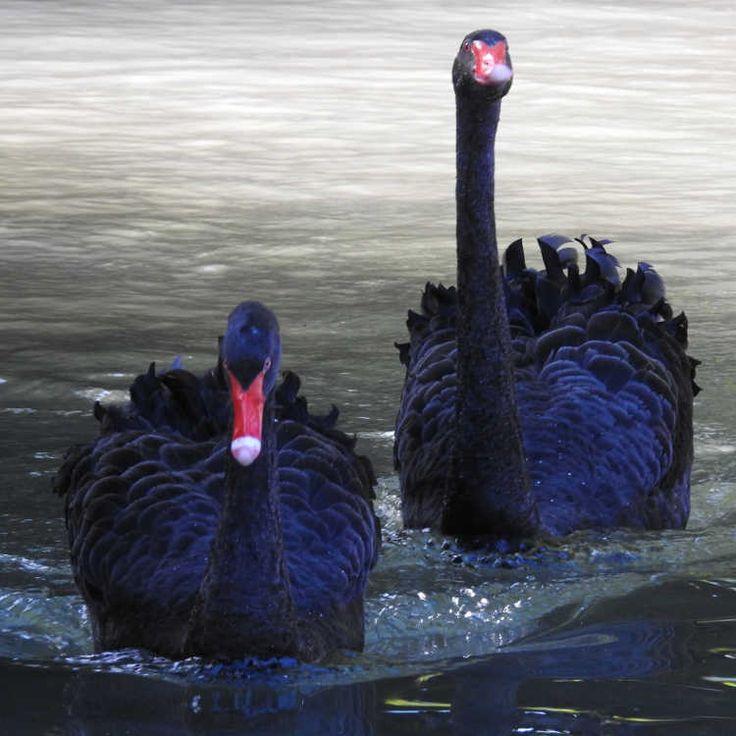 Oiseaux - Cygne noir - Cygnus atratus - Couple dans le Parc du Château Soubiran à Dammarie-les-Lys