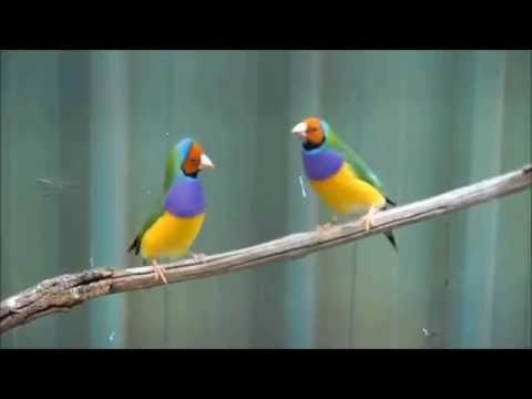 …. wait for it!   Gouldian finches having fun! A little clip captured while at Caversham Wildlife Park in Western Australia. More photos from Caversham Wildlife Park can be found on facebook here https://www.facebook.com/hoganfinland/posts/10151915293418736  #birds #dancing #lordofthedance #riverdance #punk #australia #gouldian #jig #irishdancing #stpatricksday
