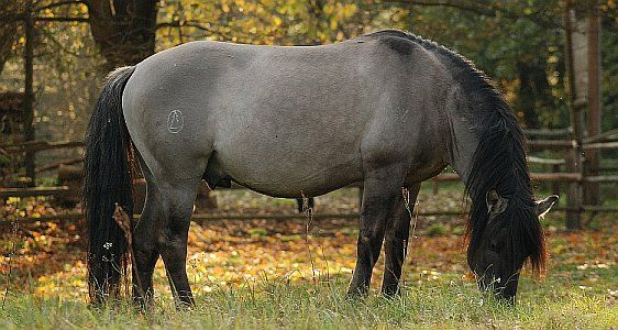 Hucul Horse (hc) This is a primitive horse breed that comes from Carpathians. Huculs are superb mounts for children and adults hiking in mountains. They may also be used in hippotherapy or recreational riding. Stud-book of Origin of Hucul Horses