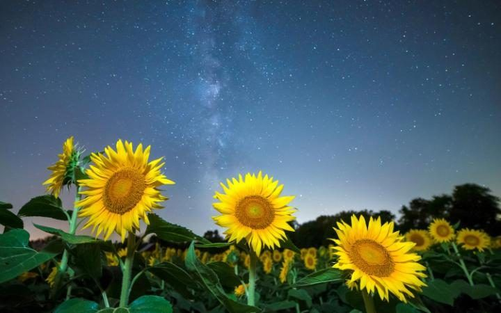 Gallery: CATERS_SUNFLOWERS_UNDER_MILKY_WAY_04