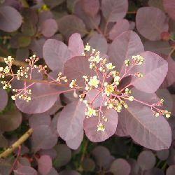Arbre à perruque à feuillage pourpre - Vente Vente en ligne de jeunes plants de Cotinus arbre à perruque à feuillage pourpre pas cher | Leaderplant
