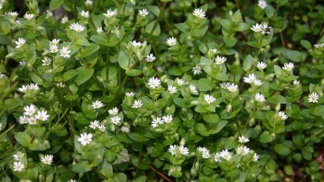 Gyomnövényként ismerjük, pedig igencsak jelentős gyógyhatással rendelkezik.