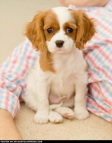 Just like Belle when she was a pup....Cavalier King Charles Spaniel puppy Check out more cute puppies at o