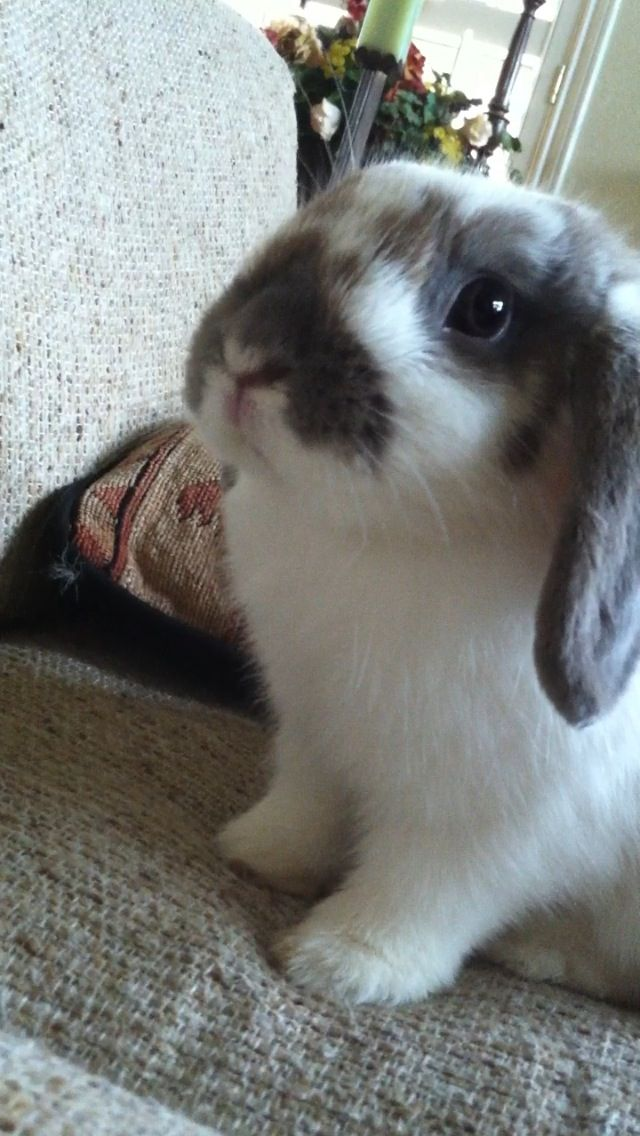 Holland lop bunny a broken gray Kanin's new pet <3