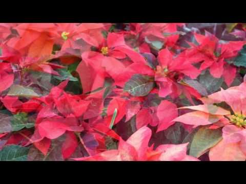 Some of Our Poinsettias