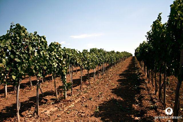 Plantatie cu vita-de-vie a familiei Szakacs din Pir (jud. Satu-Mare, Romania) / Szakacs family's grapevines plantations in Pir (jud. Satu-Mare, Romania)