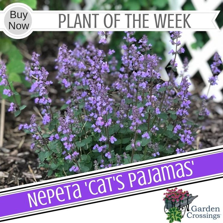 Nepeta 'Cat's Pajamas' Cat pajamas, Perennials, Buy plants