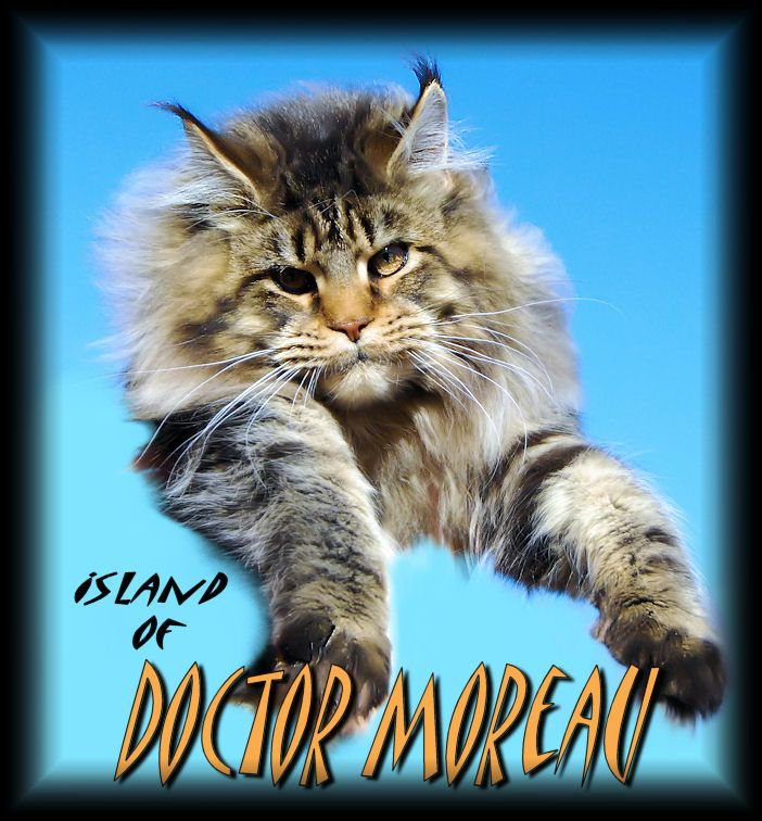 Breeding Maine Coon Stud Cats of Congocoon Cattery:  Dr. Moreau