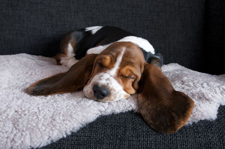 Banksy the basset puppy relaxing