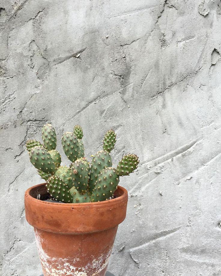 Opuntia fragilis 'Potato' #succulent #succulove #opuntia #cactus by chorizotrees