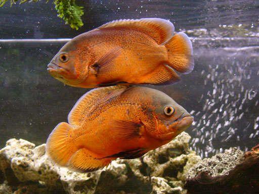 25 Best Ideas About Oscar Fish On Pinterest Tropical