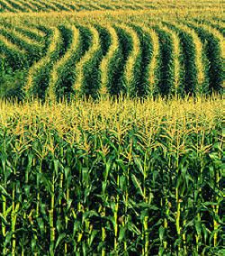 There's more than corn in Indiana (but the cornfields sure are pretty!).