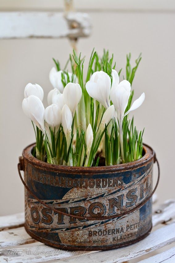 Tulips in a vintage bucket with advertising. Doesn't get much better than that!