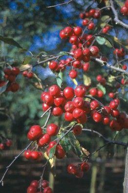 Malus 'Red Sentinel' Sierappel. Kleine boom met een ronde kroon. Het groene blad loopt bronskleurig uit en heeft rood getinte bladstelen. Circa 4 cm grote bloemen. In knop is de kleur roze, eenmaal geopend zijn de bloemen wit. 'Red Sentinel' vormt talrijke kogelvormige helderrode vruchten met een doorsnede van circa 2,8 cm die lang aanblijven. Bruikbaar in parken, plantsoenen en tuinen. Verdraagt onderbeplanting goed. 'Red Sentinel' verlangt een voedselrijke, niet te droge grond.