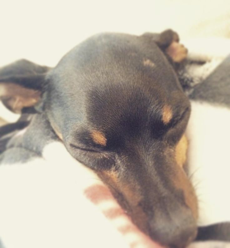 Finally... #ilovemydog #sleppy #dog #dogsofinstagram #instadog #instapet #instamood #instamoment #instagood #instalike #love #toocute #animal #itscoldoutside #fluffy #blanket #kumamon #ミニチュアピンシャー #ミニピンなしでは生きていけません会 #ミニピン #いぬ #くまもん #tgif #ちょっと元気ない by amber_huggycuties