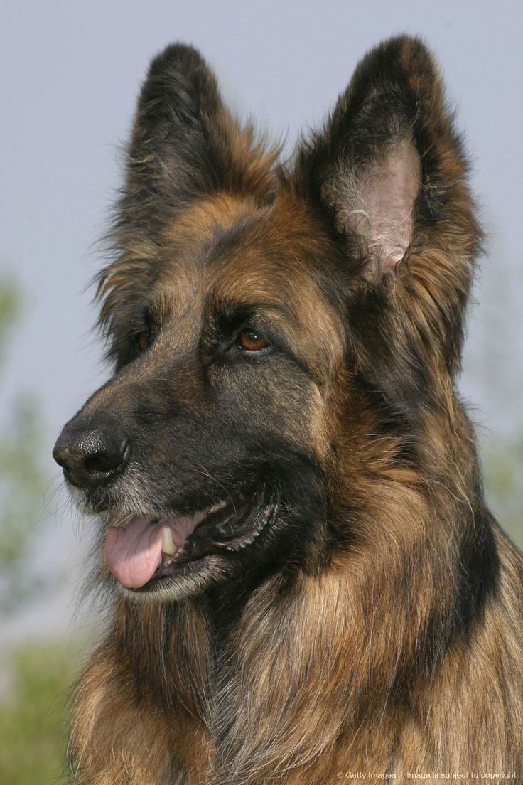 334 Best Images About The Noble German Shepherd On