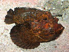 Synanceia es el pescado de la familia Synanceiidae, también conocido como el pez piedra. Es uno de los peces más venenosos del mundo