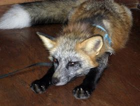 The Pet Fox: Nail Care Part I: Easy Ways to Keep Your Fox's Nails In Shape