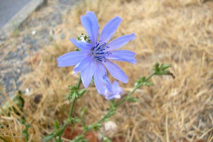 Čekanka obecná(Cichorium intybus)