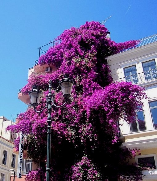 In full bloom - Hotel Metropolis - Plaka, Athens, Greece.  Go to www.YourTravelVideos.com or just click on photo for home videos and much more on sites like this.