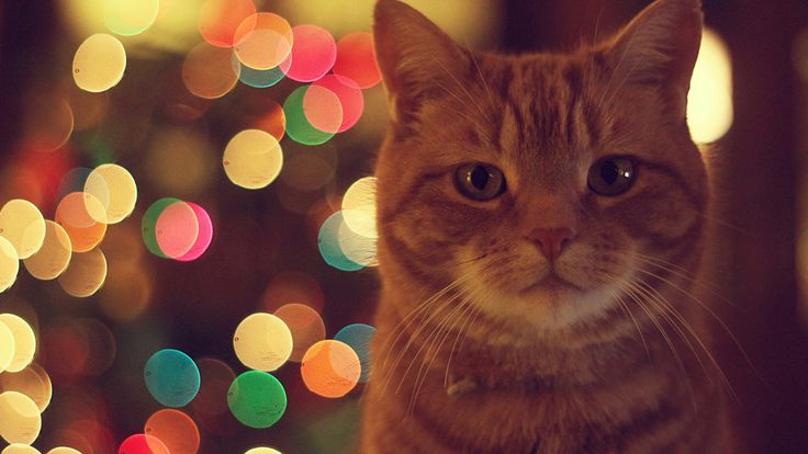 Ginger-Cat-Animal-HD-Wallpapers.jpg 2.560×1.440 pixels