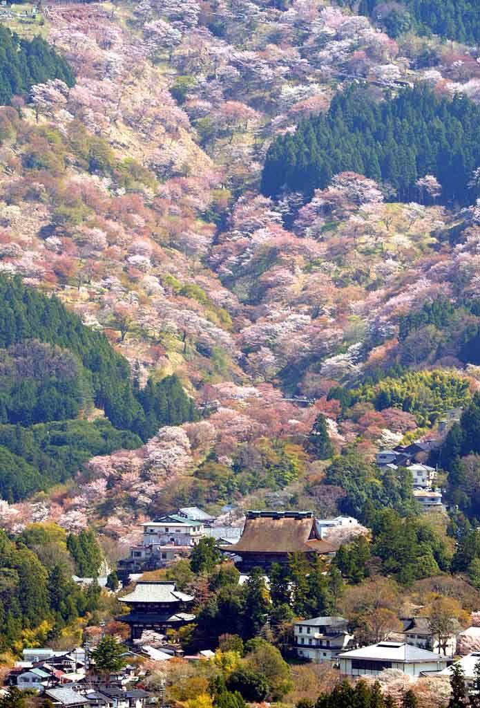 Wild cherry trees in Yoshino, Nara, Japan 吉野 奈良