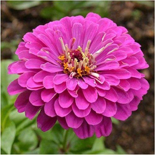 Zinnia Lilliput Purple Flower Seeds (Zinnia Elegans Lilliput Purple) 50+Seeds